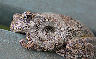Grey Tree Frog Close-Up