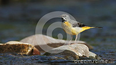 Grey Wagtail on the River