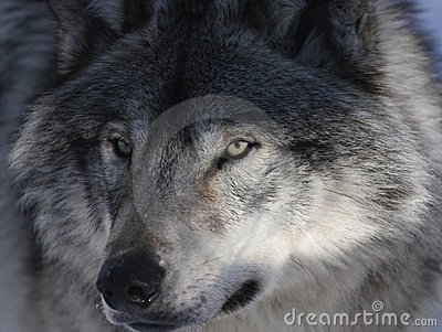 Grey Wolf Royalty Free Stock Photo - Image: 21785205