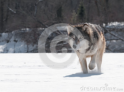 Grey Wolf (Canis lupus) Close Up Stalk