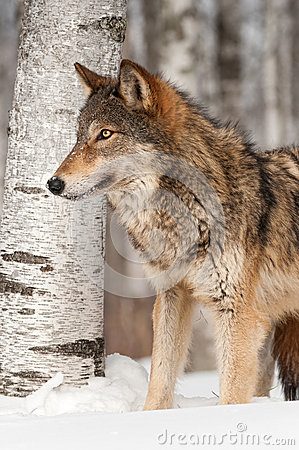 Grey Wolf (Canis lupus) in front of Birch Tree