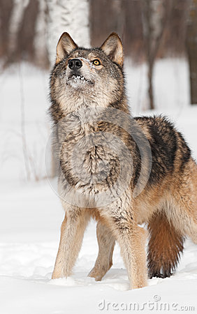 Grey Wolf (Canis lupus) Looks Way Up