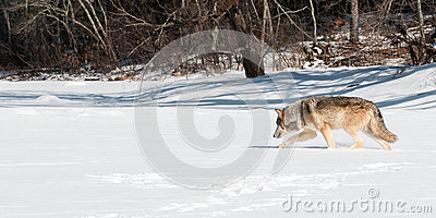 Grey Wolf (Canis lupus) Moves Left Along Snowy Riverbed