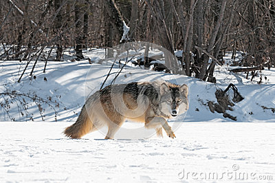 Grey Wolf (Canis lupus) Moves Right Along Snowy Riverbed