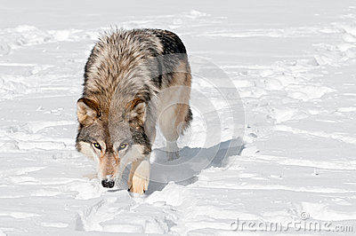 Grey Wolf (Canis lupus) Prowls Toward Viewer Through Snow