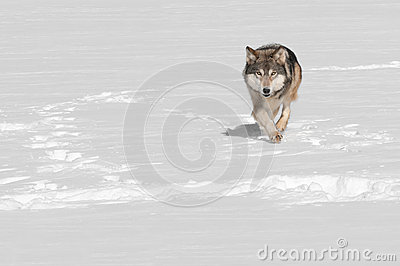 Grey Wolf (Canis lupus) Runs at Viewer