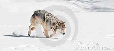 Grey Wolf (Canis lupus) Stalks Right Through Snow