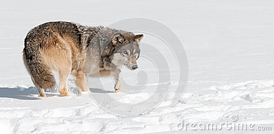 Grey Wolf (Canis lupus) Stalks Through Snow