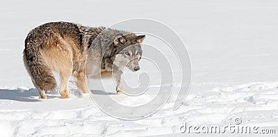 Grey Wolf (Canis lupus) Stalks Through Snow