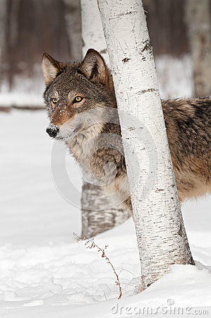Grey Wolf (Canis lupus) Stands Behind Birch Tree