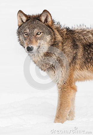 Grey Wolf (Canis lupus) Stands in Snow