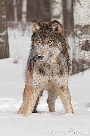 Grey Wolf (Canis lupus) Stands in the Snow