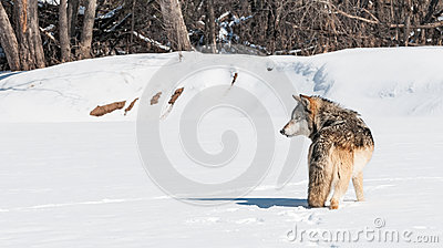 Grey Wolf (Canis lupus) Stands in Snowing Looking Left