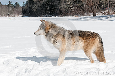 Grey Wolf (Canis lupus) Stands in Snowy Riverbed Looking Left