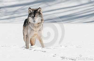 Grey Wolf (Canis lupus) Stare