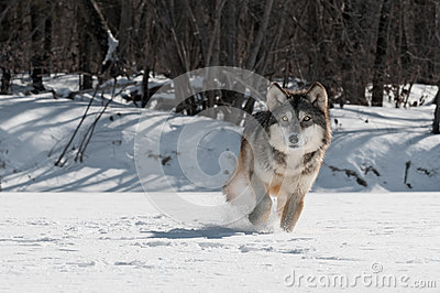 Grey Wolf (Canis lupus) Trot