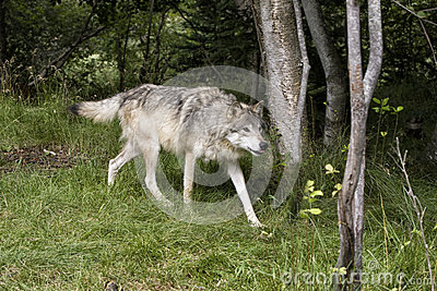 Grey Wolf on the Prowl