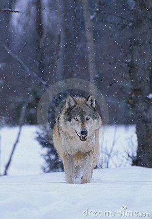 Grey Wolf in Snowstorm
