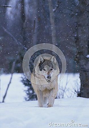 Grey Wolf in Snowstorm