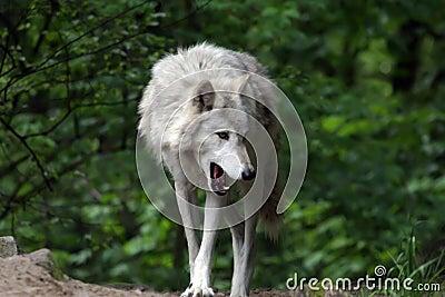 Grey Wolf Yawning
