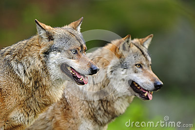 Grey Wolfes (Canis lupus)