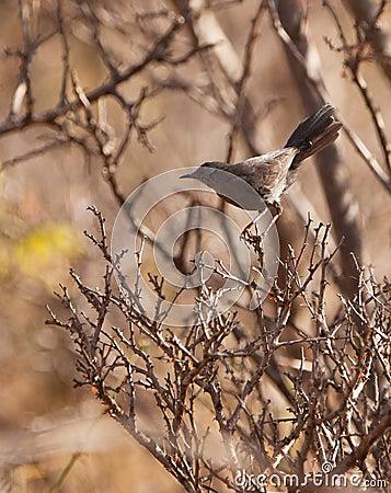 The Grey Wren Warbler