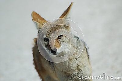Greyback Fuchs in Etosha