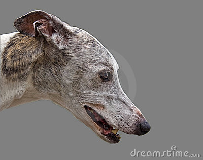 Greyhound head