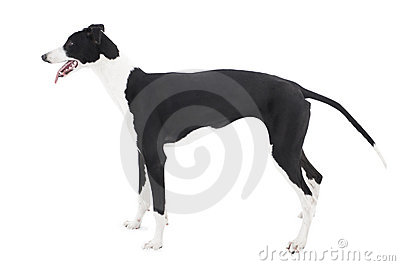 Greyhound isolated on white