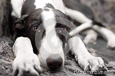 Greyhound lying on sofa