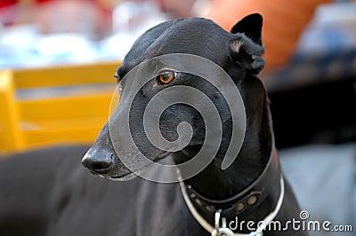 Black Greyhound portrait