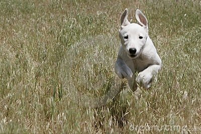 Greyhound puppy running through a field