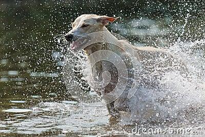 Greyhound 7