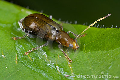 A greyish brown beetle