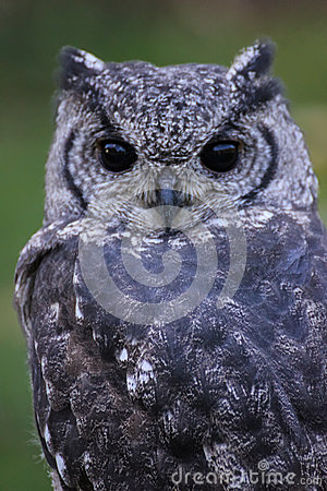 Greyish Eagle Owl or Vermiculated Eagle owl
