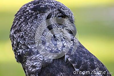 Greyish Eagle Owl or Vermiculated Eagle owl