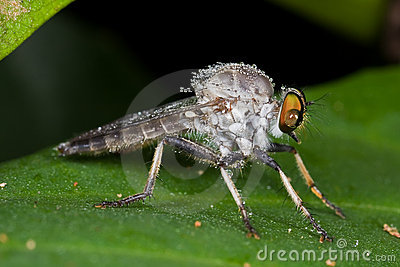 A greyish robber fly with dewdrops
