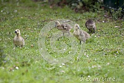 Greylag geese goslings