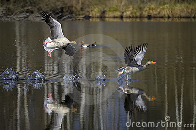 Greylag Geese Landing in Lake