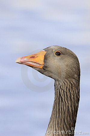A Greylag Goose (Anser anser)