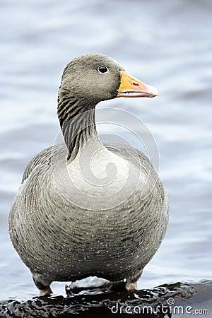 Greylag Goose. (Anser anser )
