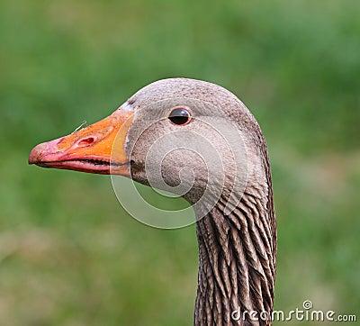 Free Greylag Goose (Anser Anser) Stock Photos - 8963123