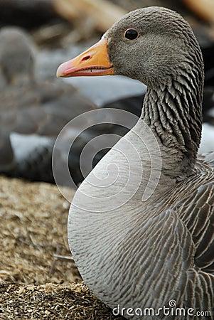 Free Greylag Goose Anser Anser Near Thingvallavatn Lake Royalty Free Stock Photography - 32009937