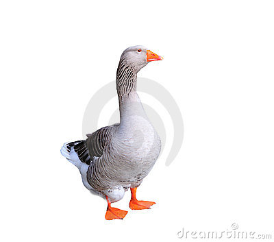 Greylag Goose Isolated on White