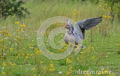 Greylag goose Pegasus