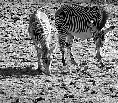 Greys Zebras - Mother & Foal