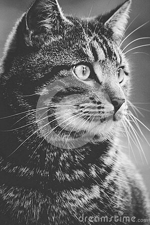 Greyscale Photography Of Tabby Cat Free Public Domain Cc0 Image