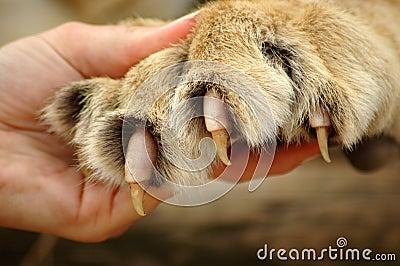 griffes-de-lion-thumb1628266 dans LION
