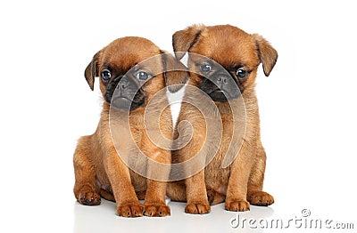 Griffon terrier puppies