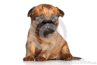 Griffon terrier puppy on a white background
